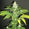 Channel + - 3 semillas - Medical Seeds