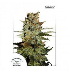 Autoblueberry - Dutch Passion