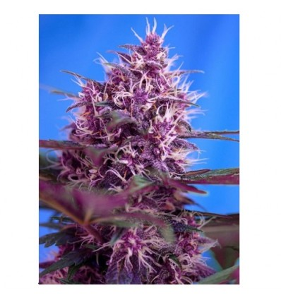 Red Poison – AUTO - Sweet Seeds