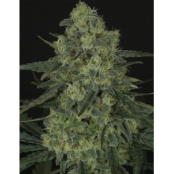 Criminal + - FEM - Ripper Seeds